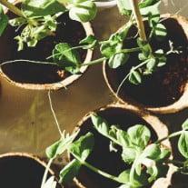 Best Companion Plants for Cannabis