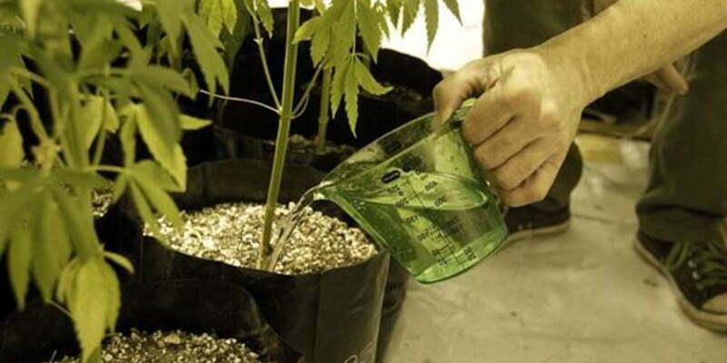 Overwatered and underwatered marijuana plants - How often should you water your garden ...