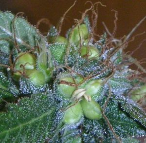 Rodelization make feminized weed seeds