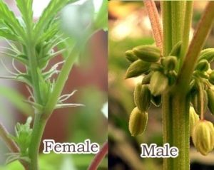 Sexing make feminized cannabis seeds