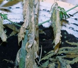 Signs of fusarium on weed