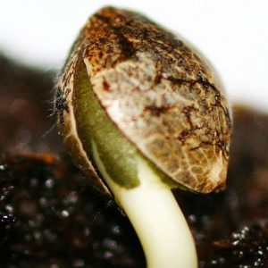 Where To Buy Marijuana Seeds In The United States