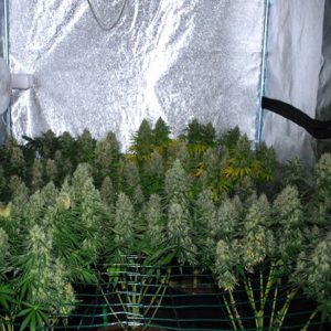 Super Skunk plant features