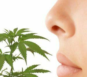 Flavonoids in cannabis