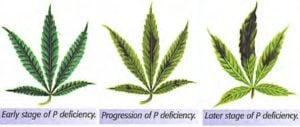 How to fix a phosphorus deficiency cannabis
