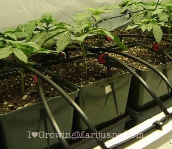Cannabis hydro resevoir drip system