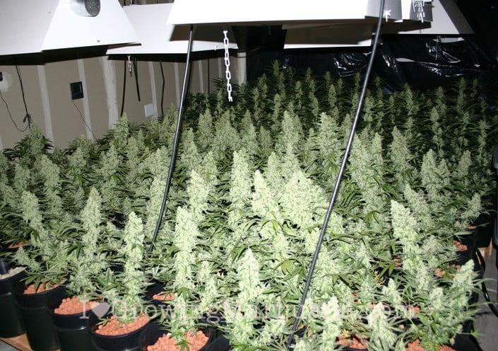 Sea Of Green (SOG) Marijuana Growing