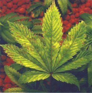 Signs of phosphorus deficiency cannabis