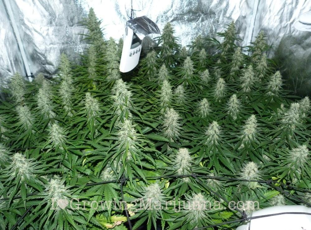 The Best Marijuana Grow Schedule