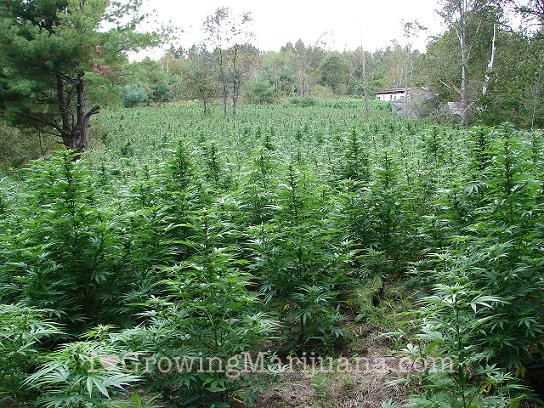 When to water outdoor cannabis plants