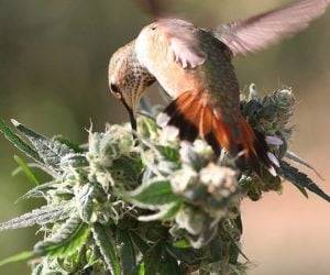 Signs of birds on cannabisplants