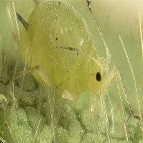 Marijuana Pests and Bugs