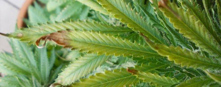 Overfeeding cannabis