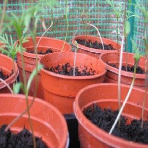 Tips for cannabis seedling stem stretching