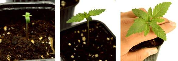 transplating weed