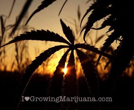 Darkness outdoor cannabis plants