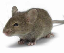 Get rid rats mice cannabis