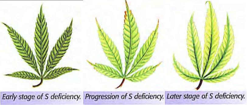 cannibus plant deficiency chart: Stop sulfur deficiencies in marijuana plants now
