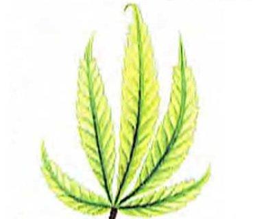 Stop sulfur deficiencies in marijuana plants now signs of a sulfur deficiency cannabis mightylinksfo