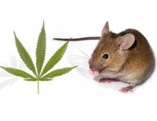 Signs rats mice weed