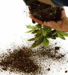 Cannabis soil fertilizer ec
