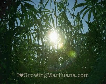 Sunny cannabis grow site