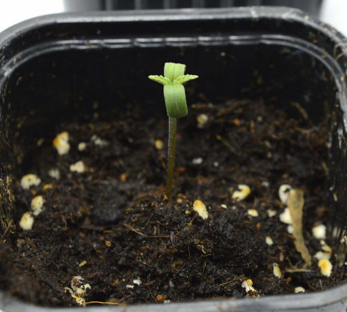 transplant cannabis day 1