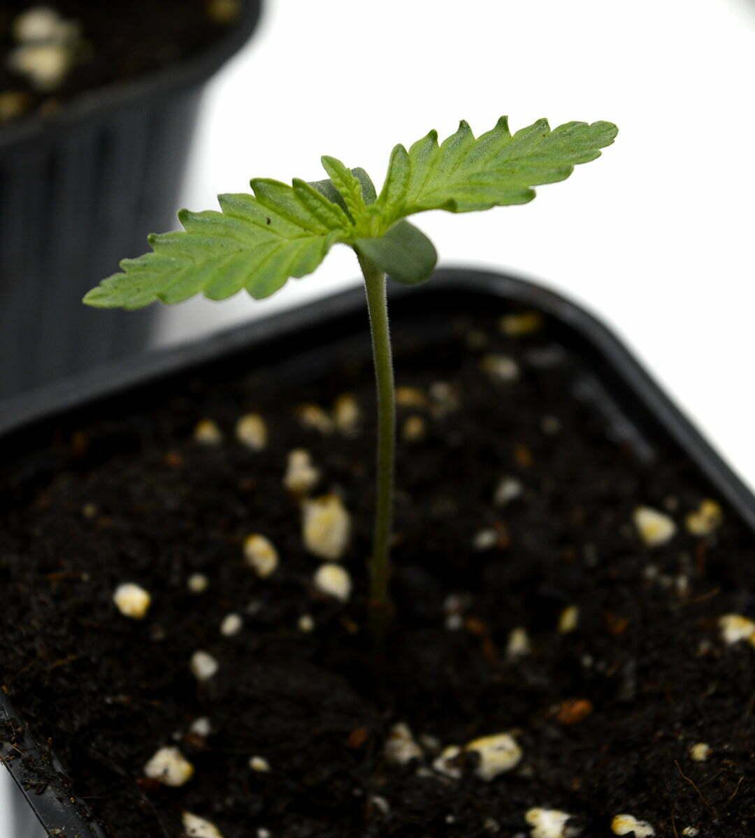 transplant cannabis day 5