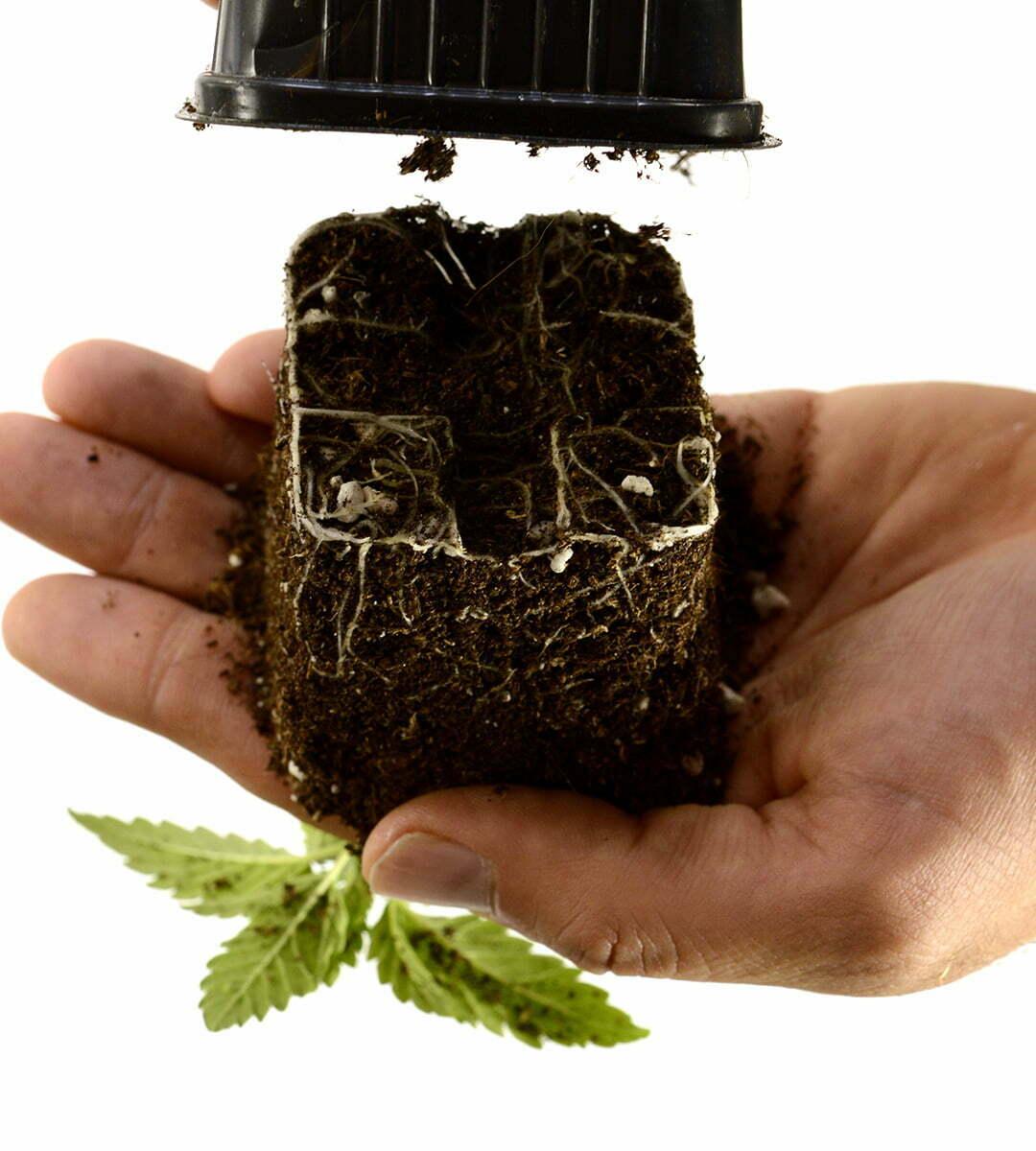 Transplant cannabis
