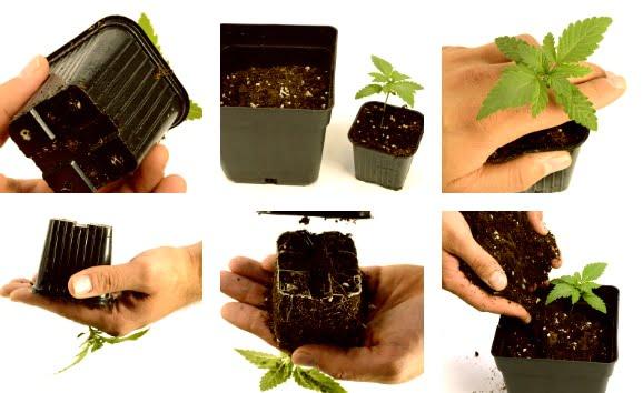 transplanting marijuana process