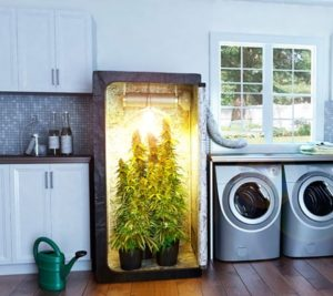 Watering cannabis and humidity
