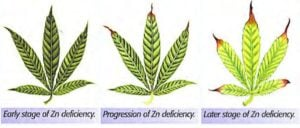 How to fix a zinc deficiency weed