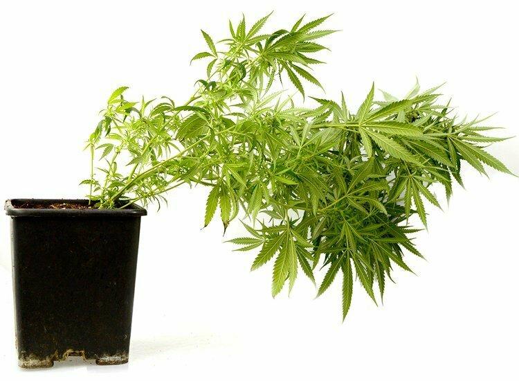 Fallen marijuana plant