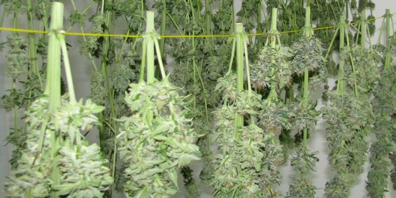 Drying Your Outdoor Marijuana Plants