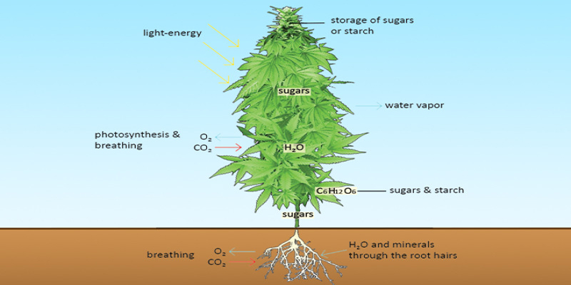 What is a Marijuana Plant