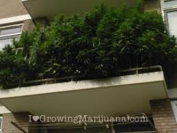 How to grow cannabis on your balcony?