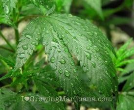 Feeding seedlings cannabis nutrients