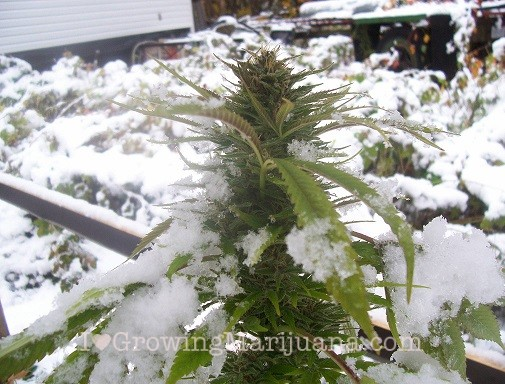 Seasonal changes outdoor cannabis seeds