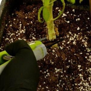 Cut the plant harvest