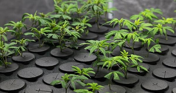 Clone stress: marijuana clones wont root