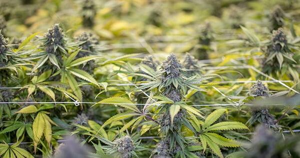 Cannabis light stress