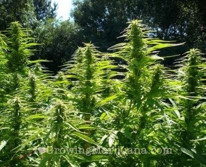 Harvest twice per year cannabis