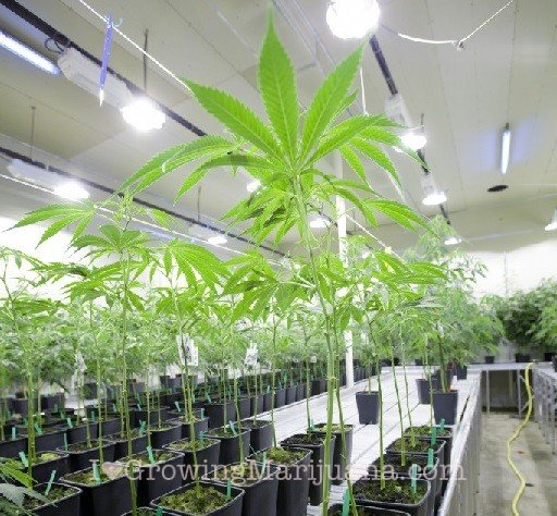 Advantages Of Growing Marijuana Indoors
