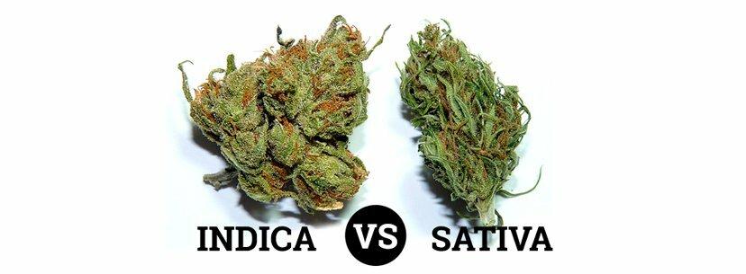 Indica vs Sativa buds