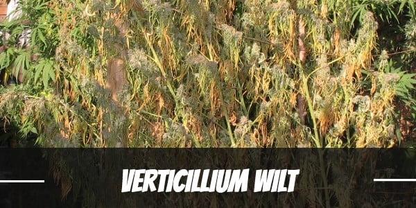 Verticillium wilt