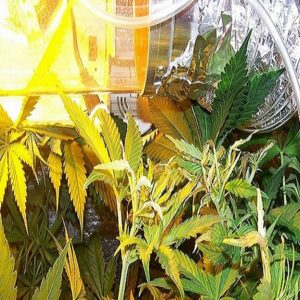 How to fix light burned cannabis leaves
