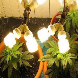 Improper lighting cannabis seedlings