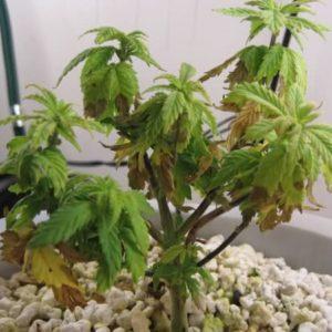 cannabis symptoms- marijuana plant wilting
