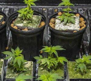 Canadian homegrown cannabis