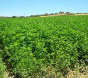 Location where cannabis was grown